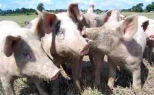 Bio-Schweine zum Wurst selber machen