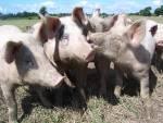 Wurst selbst machen aus BIO-Schweinen