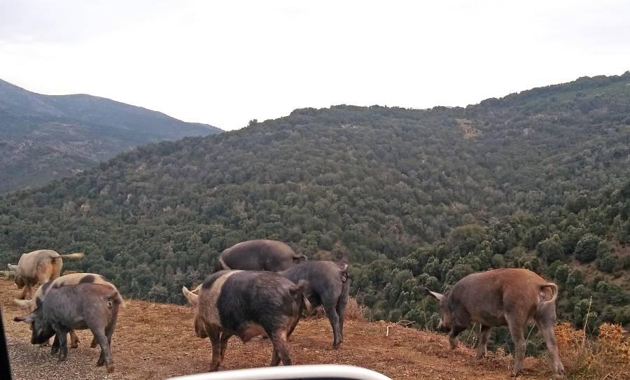 Schweine im Freien